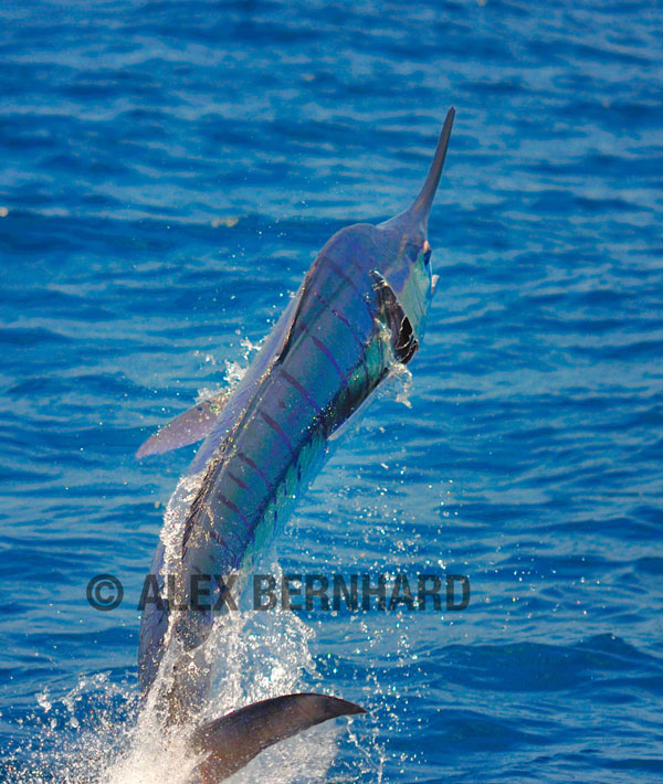 Some sweet striped marlin photos bloodydecks for Franks great outdoors fishing report